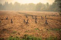在一个领域的加拿大鹅与早晨雾 免版税库存图片