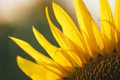在一个领域的向日葵下午 库存照片