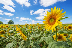 在一个领域的向日葵在一个晴天 免版税图库摄影
