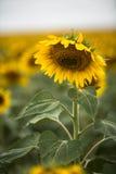 在一个领域的向日葵在南达科他垂直 库存图片