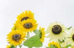 在一个领域的向日葵在夏天 免版税库存照片