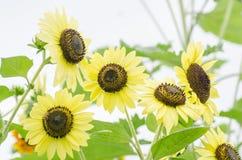 在一个领域的向日葵在夏天 免版税库存图片