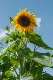 在一个领域的向日葵在蓝天背景 免版税图库摄影
