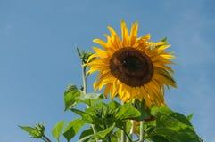 在一个领域的向日葵在蓝天背景 库存图片