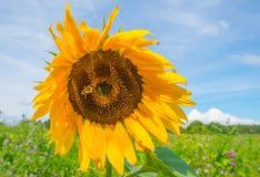 在一个领域的向日葵在阳光下 库存照片