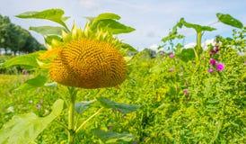 在一个领域的向日葵在阳光下 免版税库存图片