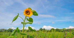 在一个领域的向日葵在阳光下 免版税库存照片