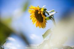 在一个领域的向日葵有蓝天背景 免版税图库摄影