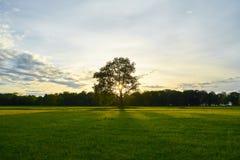 在一个领域的大老橡木在日落 免版税库存图片