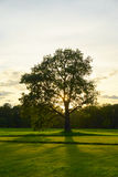 在一个领域的大老橡木在日落 免版税库存照片