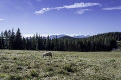 在一个领域的小马在山 免版税库存照片