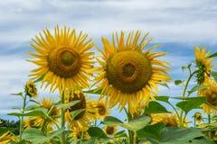 在一个领域的开花的向日葵与被转动的瓣 库存照片