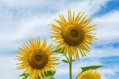 在一个领域的开花的向日葵与被转动的瓣 免版税库存照片