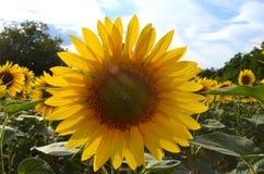 在一个领域的开花的向日葵在一个晴朗的夏日 图库摄影