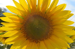 在一个领域的开花的向日葵在一个晴朗的夏日 免版税图库摄影