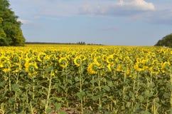 在一个领域的开花的向日葵在一个晴朗的夏日 库存图片