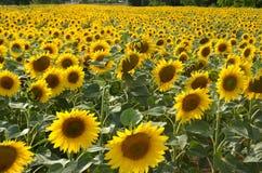 在一个领域的开花的向日葵在一个晴朗的夏日 免版税库存照片