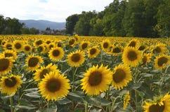 在一个领域的开花的向日葵在一个晴朗的夏日 库存照片