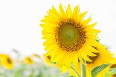 在一个领域的开花的向日葵在一个晴天 奶油被装载的饼干 免版税库存照片
