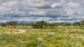 在一个领域的斑马与黄色花 免版税库存照片