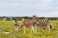 在一个领域的斑马家庭与黄色花 免版税库存照片