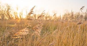 在一个领域的日落与芦苇 库存图片