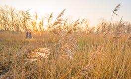 在一个领域的日落与芦苇 免版税库存照片