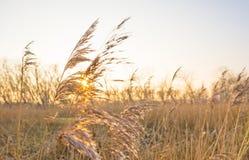 在一个领域的日落与芦苇 图库摄影