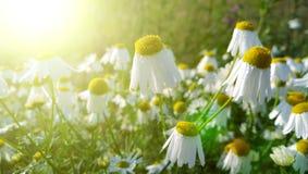 在一个领域的早晨太阳与许多雏菊 免版税库存图片