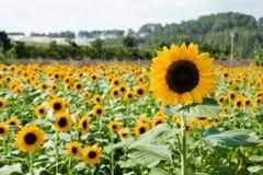 在一个领域的明亮的黄色向日葵特写镜头在庭院和温室背景  库存照片