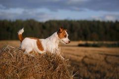在一个领域的杰克罗素狗在日落 图库摄影
