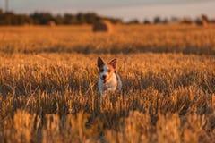 在一个领域的杰克罗素狗在日落 免版税库存图片