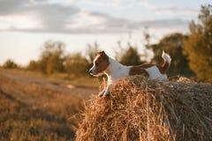 在一个领域的杰克罗素狗在日落 库存图片