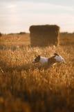 在一个领域的杰克罗素狗在日落 库存照片
