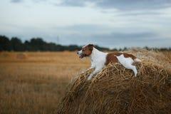 在一个领域的杰克罗素狗在日落 免版税图库摄影