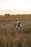 在一个领域的杰克罗素狗在日落 免版税库存照片
