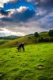 在一个领域的母牛在摩西蓝岭山行车通道的锥体公园 免版税库存图片