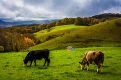 在一个领域的母牛在摩西锥体在蓝岭山行车通道停放, N 库存照片