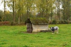 在一个领域的比利时母牛在房子附近 免版税图库摄影