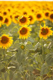 在一个领域的浪漫向日葵在日落 库存图片