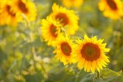 在一个领域的浪漫向日葵在日落 免版税图库摄影