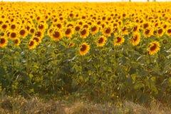 在一个领域的浪漫向日葵在日落 免版税库存图片