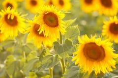 在一个领域的浪漫向日葵在日落 库存照片
