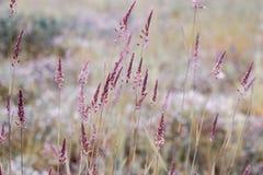 在一个领域的紫色小尖峰在日落 图库摄影