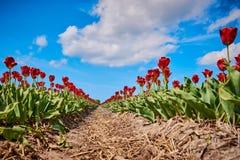 在一个领域的红色郁金香与广角镜头 免版税库存图片