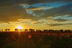 在一个领域的美好的日落用开花的向日葵 免版税库存图片