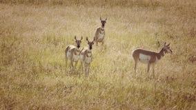 在一个领域的羚羊牧群在科罗拉多 免版税库存图片
