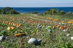 在一个领域的色的南瓜由海岸 库存照片