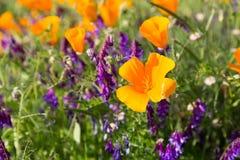 在一个领域的花菱草与紫色花 免版税库存照片