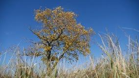 在一个领域的草在背景偏僻的树在秋天在蓝天自然背景  影视素材